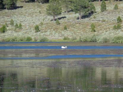 White Pelicans at Martis Lake