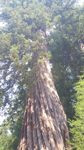 Old-Growth Redwood