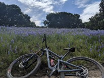 Lupines Galore!
