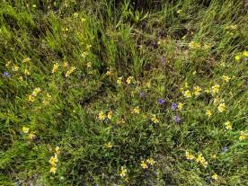 California Goldfields (Lasthenia californica) with Blue-Eyed Grass