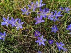 Elegant Cluster Lily (Brodiaea elegans)