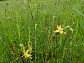 Golden Star (Triteleia ixioides)