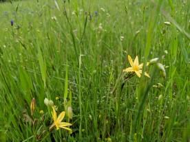 Golden Star (Triteleia ixioides)