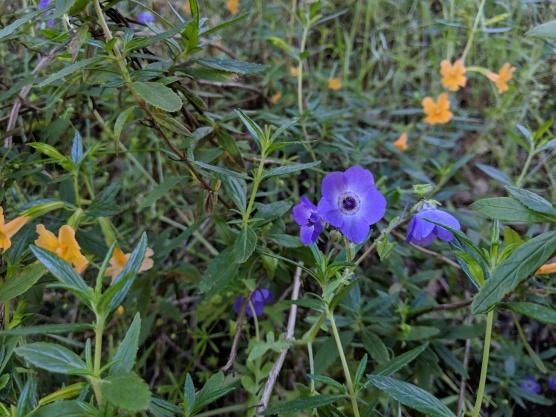 Blue Fiestaflower