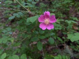 California Wildrose