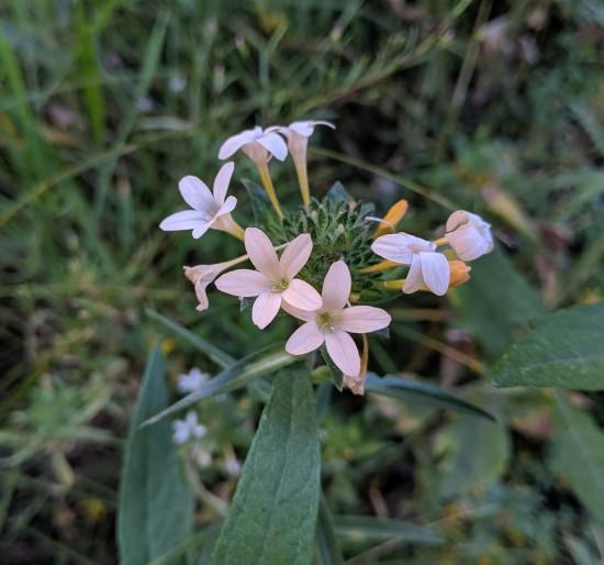Collomia grandiflora (Mountain Trumpet)