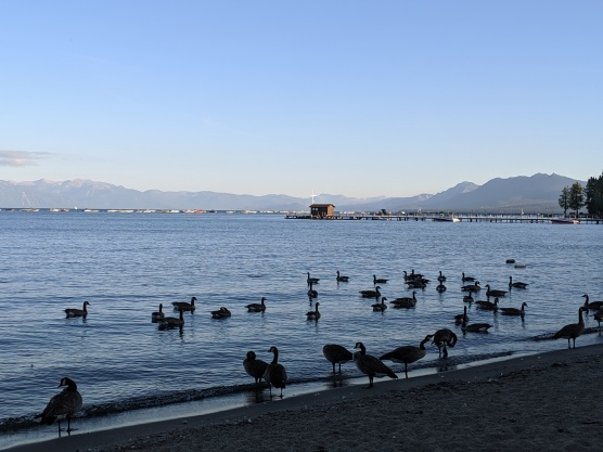 Canada Geese on Commons Beach, Lake Tahoe
