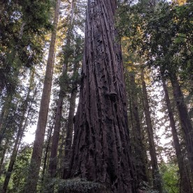 Henry Cowell Redwood