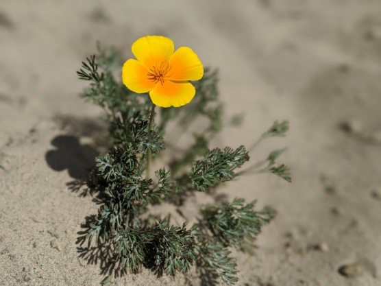 Sandhills Poppy
