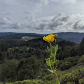 Bush Poppy, Santa Cruz Mountains